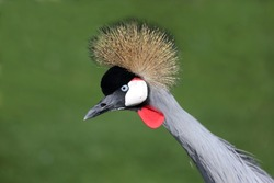 Beautiful Crowned Crane bird from South Africa