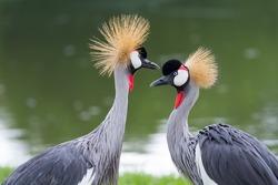Beautiful crowned crane feeding in the wild.