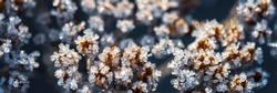 Beautiful crystals of rime ice on plants during frosts. Macro shot of hoarfrost on inflorescences. Natural background with hoarfrost on the grass. Cold weather. Winter nature. Close-up. Wide panorama.