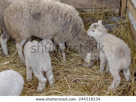 Beautiful curious not shorn sheep with lamb with hay in a pen for domestic farm animals. Selective focus with shallow depth of field. As background for design with animals