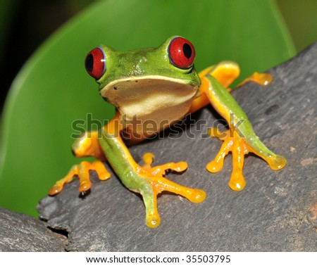 beautiful curious red eyed green tree or gaudy leaf frog sitting wood, corcovado, costa rica, latin america. exotic amphibian full frame macro close up rainforest treefrog tropical  jungle