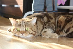 Beautiful curious sad tabby cat laying on floor & looking. Scottish short-hair brown cat missing alone at home. Big fat fanny cat making melancholy face. Gray cute pet kitty laying in sunlight