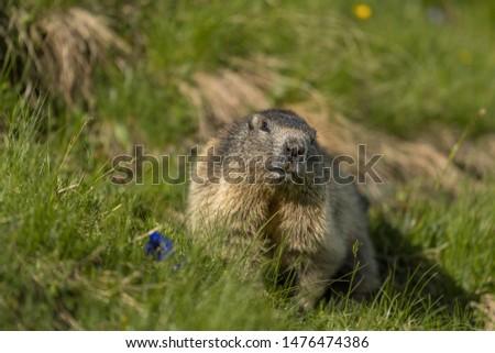 beautiful curious wild alpine marmot with alpine flowers #1476474386