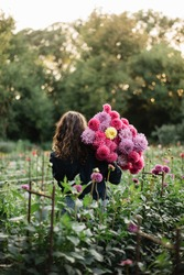 Beautiful curvy brunette young woman with a curly hair wearing jeans and a shirt, standing back to the camera at the dahlia farm, holding a bunch of freshly cut dahlia flowers in pink and purple color