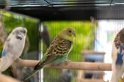 Beautiful cute budgies bird in bird cage and blurry background.