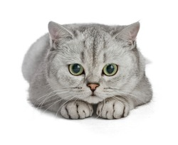 Beautiful cute cat isolated on white background. Gray British Shorthair.