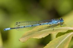 Beautiful cute dragonfly Ischnura elegans – Blue-tailed Damselfly