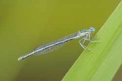 Beautiful cute dragonfly Platycnemis pennipes - White-legged Damselfly