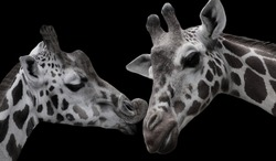 Beautiful Cute Giraffe Kissing Together