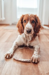Beautiful cute spotted brown white dog. Welsh springer spaniel pure pedigree breed. Healthy dog resting comfy at home.