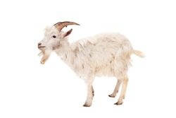 Beautiful, cute, young white goat isolated on white background.