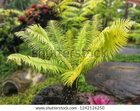 Beautiful Cycad Plant  #1242126250