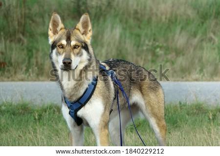 Beautiful czechoslovak wolf dog lady paying attention Photo stock ©