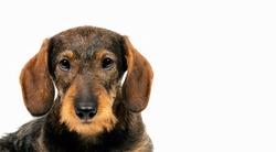 Beautiful dachshund puppy. Dog portrait