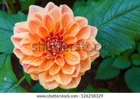 beautiful dahlia flower and water drop in garden
