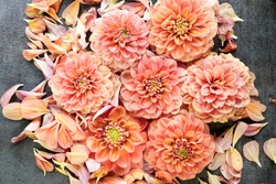 Beautiful dahlia flower heads arranged for a textured background. Peach, pink, salmon, colored flowers. Flower pattern background.