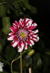 Beautiful Dahlia Flower with Selective Focus in Vertical Orientation