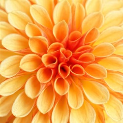 Beautiful Dahlia Flowers in bright sunshine in the perennial flowerbed closeup in Detail.