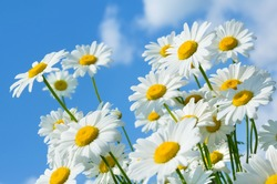 Beautiful daisies on a background of blue sky