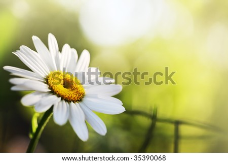 Beautiful daisy flower. Close-up, shallow DOF. #35390068
