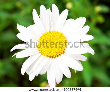 Beautiful daisy flower macro shot