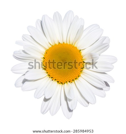 Beautiful daisy flower on white background