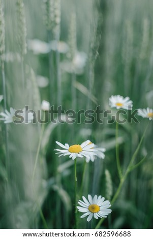 Beautiful daisy flowers in green rye field on a summer day. Bright look with shallow depth of field #682596688