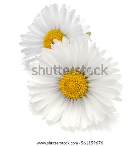 Beautiful daisy flowers isolated on white background cutout #561159676