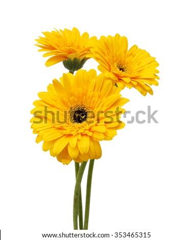 Beautiful daisy gerbera flowers isolated on white background #353465315