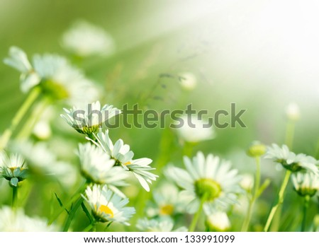 Beautiful Daisy in a meadow