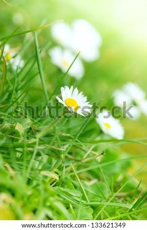 Beautiful Daisy in spring