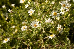 beautiful daisy patch at Patapsco state park