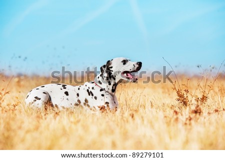 Beautiful Dalmatian dog in a field