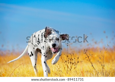 Beautiful Dalmatian dog in a field