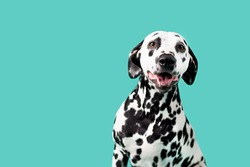 Beautiful Dalmation Dog on Colored Background