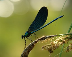 Beautiful damselfly Calopteryx virgo in the early morning before sunrise on a blade of grass