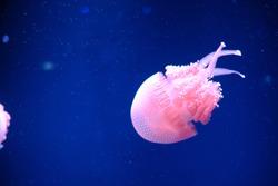 Beautiful Dancing Jellyfish