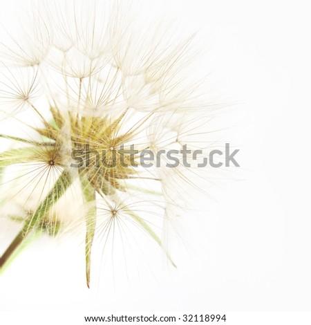 Beautiful dandelion close-up