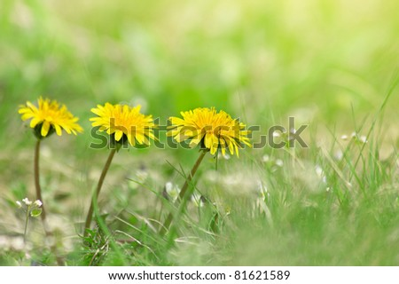 Beautiful dandelion flowers on a background of green grass