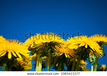 Beautiful dandelion flowers on blue sky background. Original  perspective. Place for text #1085611577