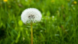 Beautiful dandelion in the landscaping.Dandelion gives birth to good blood.Eliminates the need for hot poisoning with poisons,scorpion bites,and bees.