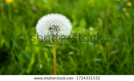 Photo of  Beautiful dandelion in the landscaping.Dandelion gives birth to good blood.Eliminates the need for hot poisoning with poisons,scorpion bites,and bees.