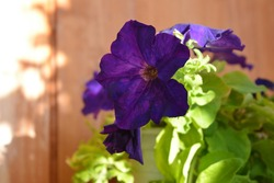 Beautiful dark purple flowers of petunia on the background of wooden wall.