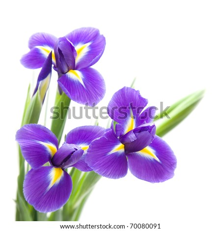 Picture Iris Flower on Stock Photo Two Iris Flowers On A White Background   Herbal Pasutri