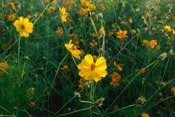 Beautiful dark yellow cosmos flowers on a background of a field of yellow cosmos flowers.