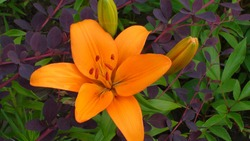 Beautiful dark yellow (orange) flower of LA (Longiflorum Asiatic hybrid) Lily of cultivar Indian Diamond on green and purple leaves of barberries background in the garden.