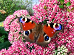 """Beautiful """"day peacock eye"""" butterfly (Aglais io ) on a pink blooming Sedum flower"""