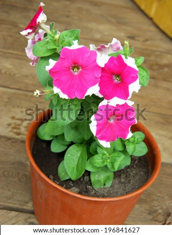 Beautiful decorative Flower Petunia in pot.Beautiful decorative flower