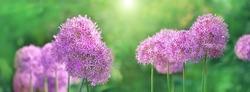 Beautiful decorative lilac bow Allium, decorative garden plant. Blossom purple flowers onion, gentle natural background. elegant artistic spring or summer season image. banner. copy space