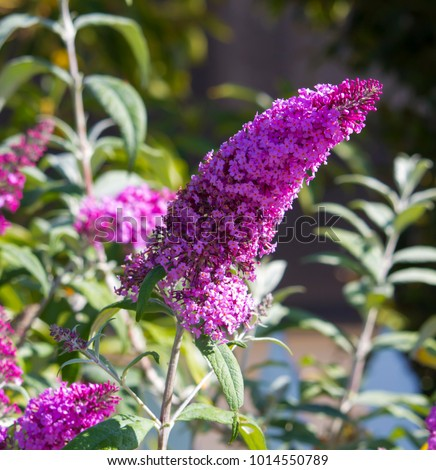 Beautiful decorative  pink flower spike of Buddleja, or Buddleia butterfly bush  a genus of over one hundred species flowering in autumn attract butterflies and bees to the garden.